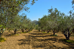 Olive tree orchard near Petrokefali in Crete, Greece, Europe Royalty Free Stock Images