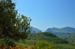 Olive tree orchard near Petrokefali in Crete, Greece, Europe Stock Images