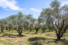 Olive Tree Orchard Stock Images