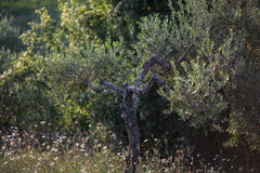 Olive tree. An olive tree in an olive orchard in Tuscany, Italy royalty free stock photo