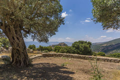 Olive tree overlooking Nimrod Fortress Ruins Stock Image