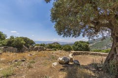 Olive tree overlooking Nimrod Fortress Ruins Stock Images