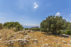 Olive tree overlooking Nimrod Fortress Ruins Royalty Free Stock Image
