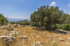Olive tree overlooking Nimrod Fortress Ruins Stock Photo