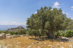 Olive tree overlooking Nimrod Fortress Ruins Stock Photos