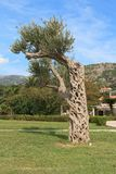 Olive tree in the park. Montenegro Stock Photography