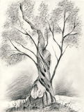 Olive tree. A pencil drawing of a single olive tree Royalty Free Stock Photos