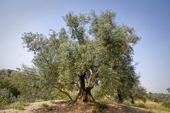 Olive tree from the picual variety near Jaen Royalty Free Stock Photo