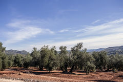 Olive tree from the picual variety near Jaen Royalty Free Stock Images