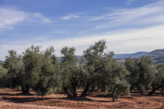 Olive tree from the picual variety near Jaen Stock Image