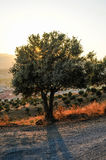 Olive Tree In Pizarra, Andalusia, Spain Royalty Free Stock Images