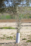 Olive tree plant protected by PVC Stock Images