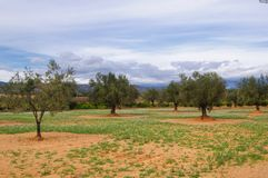 Olive tree plantation Stock Photography
