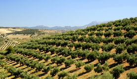 Olive Tree Plantation Royalty Free Stock Image