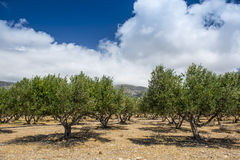 Olive Tree Plantation Imágenes de archivo libres de regalías