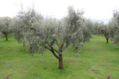 Olive tree plantation Royalty Free Stock Image