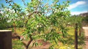 Olive Tree Plantation Ein olivgr?nes Baumasttrieb durch Transportwagen Die Kamera, die oben in die Plantage reist Einzige Olive stock footage