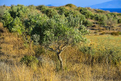 Olive tree plantation in Greece Royalty Free Stock Image