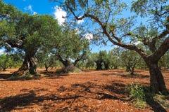 Olive tree plantation. Olea europaea bothanical name. European O Royalty Free Stock Photos