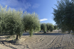 Olive tree plantation Olivenbaumplantage Royalty Free Stock Images