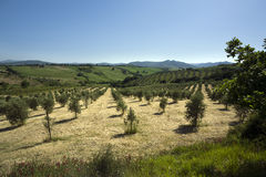 Olive tree plantation in tuscany landscape Royalty Free Stock Image