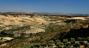 Olive Tree Plantations Stock Photo