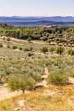 The Olive Tree Plantitaion-Provence,France Royalty Free Stock Image