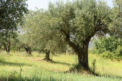 Olive tree. Olive plants in the countryside of the Italian region Calabria, August 2013 Stock Image