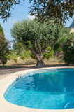 Olive tree by the pool Royalty Free Stock Photos