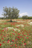 Olive tree in poppy field Royalty Free Stock Photography