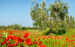 Olive tree in a poppy field Royalty Free Stock Photos