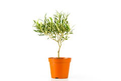 Olive tree in a pot Royalty Free Stock Images