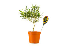Olive tree in a pot with a moisture Royalty Free Stock Photography
