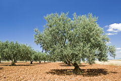 Olive tree, from Provence. France Royalty Free Stock Images