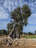 Olive Tree in Puglia Royalty Free Stock Images