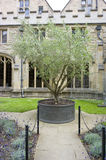Olive tree at the Quad Royalty Free Stock Photos