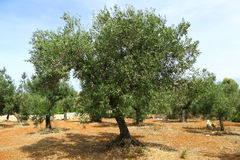 Olive tree on red soil royalty free stock photo