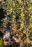 Olive tree with ripe green olives Royalty Free Stock Images