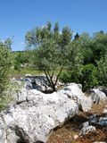 An olive tree on a rock of the Croatian island Ugljan Royalty Free Stock Images