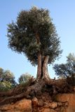 Olive tree and roots. Old olive tree (ca. 200 years) standing in the red Ibiza soil Royalty Free Stock Photography