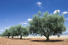 Olive tree in a row, Provence. Stock Photos