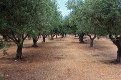 Olive tree rows Royalty Free Stock Photo