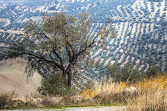 Olive Tree in a rural landscape Stock Image