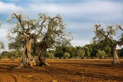 Olive tree in the Salento countryside of Puglia. Some Olives tree in the Salento countryside of Puglia stock photography