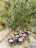 Olive Tree Saplings Foto de archivo