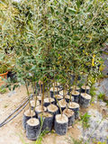 Olive Tree Saplings Stock Photo