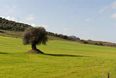 Olive tree in Sardinia Stock Photo
