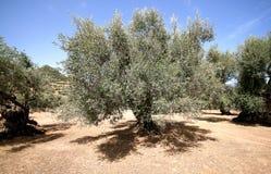 Olive tree in Sardinia Stock Photos