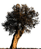 Olive Tree-Schattenbild Stockfotografie
