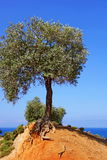 The olive tree on the sea Stock Photo